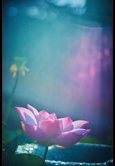 荷 。 彩 (Lotus Color) (wesleysoon) Tags: sony nex7 meyer gorlitz trioplan 10cm f28 1939 manuallens lotusf colorful germeny wideopen wesleysoon light 黄天顺 荷花 耀光 光圈全開 色彩斑斓 型攝順間 荷塘