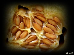 Melon seeds (Els Herten) Tags: melon fruit seeds macro food