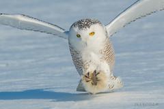 Longing for cold weather! (Earl Reinink) Tags: bird animal wildlife nature outdoors raptor earl reinink earlreinink owl snowyowl hhddhaudza