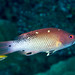 Redfin hogfish (Bodianus dictynna)