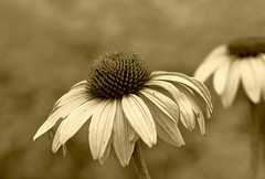 "Coneflower (Millie Cruz ""On and Off"") Tags: equinácea sepia monochrome flower coneflower petals nature plant outdoors closeup canoneosrebelt6i ef100mmf28lmacroisusm"