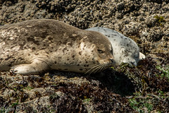 Seal Pup with Mom (nebulous 1) Tags: seals seal pup bandon seastacks pacificocean oregon nikon nebulous1 glene