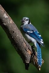 Blue Jay (mathurinmalby) Tags: blja bird bluejaycyanocittacristata cyanocittacristata newhampshire usa yard