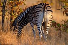 Tail end (leendert3) Tags: leonmolenaar southafrica krugernationalpark wildlife nature mammals burchellszebra ngc npc coth5