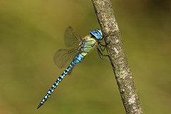 Southern Migrant Hawker  ~ Aeshna affinis (Cosper Wosper) Tags: southernmigranthawker aeshnaaffinis blueeyedhawker priddy somerset odonata first aeshnidae priddymineries