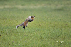 The Hunter (Canon Queen Rocks (2,305,000 + views)) Tags: wildlife wild animals animal fox hunting leaping colours nature alberta canada explorenature green grass reds field mammal naturephotography momentsbyceline