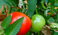Tomatoes  ripening on the vine (Trinimusic2008 -blessings) Tags: trinimusic2008 judymeikle nature today bluebirdestates walk summer july 2018 canada