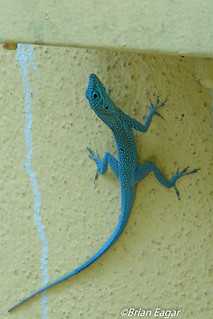 Grand Cayman Anole-00199