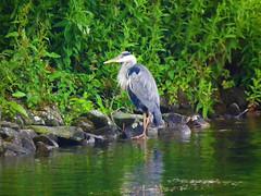 heron (grahamd4) Tags: heron bird wildlife fujihs10
