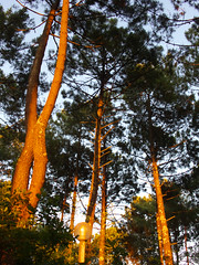 Pine trees in the sunset (Zygonyx) Tags: casio exilim ex100f biscarrosse landes atlantique