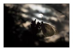 Transparence (Rémi Marchand) Tags: canon5dmarkiii papillon leverdujour sunrise gazé piéridedelaubépine