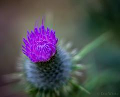 Thistle (Don White (Burnaby)) Tags: 10mm centralpark extensiontube flowersplants helios44m macro bokeh thistle
