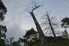 Overheads (Tony Tooth) Tags: nikon d7100 sigma 1750mm silhouette evening failinglight trees deadtrees sky skyward hencloud upperhulme staffs staffordshire staffordshiremoorlands
