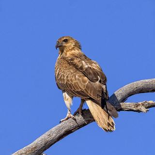 lagoon creek - whistling kite