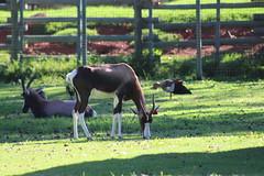 Bontebok (Rckr88) Tags: bontebok bonteboks bok boks antelope animals animal mammals mammal horn horns johannesburgzoo southafrica johannesburg zoo south africa nature outdoors travel travelling zoos