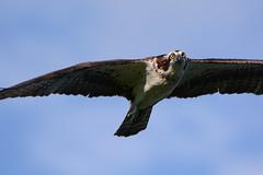 Osprey (JDA-Wildlife) Tags: gorgeous birds birdsofprey raptors osprey nikon nikond7100 tamronsp150600mmf563divc jdawildlife johnny eyecontact whatbirdbestofday wow