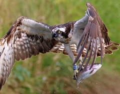 Osprey with catch (2) (robin denton) Tags: osprey birdofprey bird hornmilltroutfarm hornmill troutfarm rivergwash rutland trout pandionhaliaetus