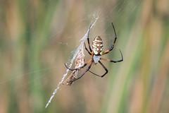 Itsy Bitsy (gseloff) Tags: yellowgardenspider arachnid argiopeaurantia spider feeding nature wildlife grasshopper armandbayou pasadena texas kayak gseloff
