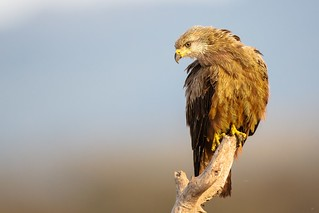 Black Kite with Radar On