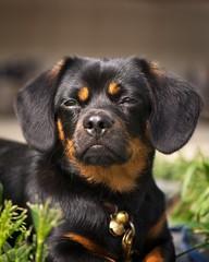 Zen Master Charlie (Mulewings~) Tags: charlie cute puppyallgrownup dogs pets pekenhund littledog blackandtan