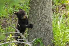 Tree hugger (ChicagoBob46) Tags: blackbear cub bear coy yellowstone yellowstonenationalpark nature wildlife coth5 ngc npc