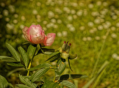 Naissance et renaissance - Birth and rebirth (p.franche malade - sick) Tags: blume 花 blomst flor פרח virág bunga bláth blóm bloem kwiat цветок kvetina blomma květina ดอกไม้ hoa زهرة fleur flower macro nature bokeh sony sonyalpha65 dxo photolab bruxelles brussel brussels belgium belgique belgïe europe pfranche pascalfranche schaerbeek schaarbeek pivoine graines pistil étamines pétales bouton rose couleur printemps feuilles vert jardin sauvage peony seeds stamens petals bud pink color spring leaves green garden wild