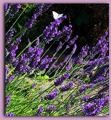 Magnetic Lavender (FernShade) Tags: vancouverbc stanleyparkcommunitygarden stanleypark garden communitygarden lavender flowers flora butterfly nature outdoor summertime