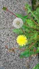 2018-06-09_13-18-08_ILCE-6500_DSC06133_DxO (miguel.discart) Tags: 100mm 1080 2018 belgie belgique belgium bru brussels bruxelles bxl bxlove createdbydxo divers dxo e18135mmf3556oss editedphoto fleurs flowers focallength100mm focallengthin35mmformat100mm ilce6500 iso100 molenbeek molenbeeksaintjean photoderue photography sony sonyilce6500 sonyilce6500e18135mmf3556oss street streetphotography