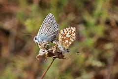 Bläulinge (Hugo von Schreck) Tags: hugovonschreck schmetterling butterfly macro makro insect insekt canoneos5dsr greatphotographers tamron28300mmf3563divcpzda010