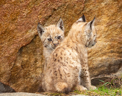 Is it safe? (CecilieSonstebyPhotography) Tags: catfamily eurasianlynx lynx lynxkittens cute closeup cat canon 8weeks animal norway markiii lynxcub gaupe peekaboo langedrag lynxcubs canon5dmarkiii endangered adorable animals ef100400mmf4556lisiiusm siblings cubs 8weeksold specanimal