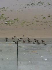 Spot steps (Nekoglyph) Tags: redcar cleveland beach sand seafront steps seadefences birds grey concrete seaweed spots turnstones sanderlings wildlife nature summer stripes sea water wet