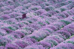 The Lone (emerge13) Tags: maisonlavande steustachequébec flowers lavender lavenderfields tcp saariysqualitypictures summer