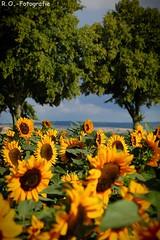 Sonnenblumen / Sunflowers (R.O. - Fotografie) Tags: sonnenblumen sunflowers natur nature rofotografie bäume trees himmel sky blau blue wolken clouds outdoor outside landscape landschaft panasonic lumix dmcgx8 dmc gx8 14140mm g vario olympus 60mm gelb yellow