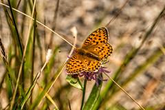 Mädesüß-Perlmutterfalter (stefangruber82) Tags: alpen alps tirol tyrol schmetterling butterfly brenthisino vviolettersilberfalter lessermarbledfritillary