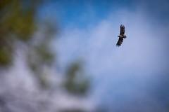 Between the branches (pakerholm) Tags: sigma150600 sigma150600f563dgsports sigma150600mmf563 sigmasport sigma 150600 600 nikon d600 d610 nikond600 nikond610 fullframe fullformat fågelskådning ornitologi ornithology birdwatching birds bird fågel fåglar linnut lintu wildlife animals vildadjur åland thealandislands finland suomi