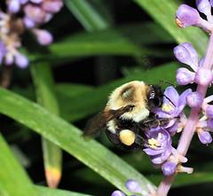 Bumble Bee doing the pollen dance. (MJRodock) Tags: olympus em5markii m1240mm f28 purple yellow pollen monkeygrass hymnopera