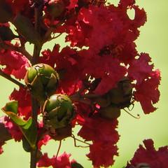 Crape Myrtle, 86/100X (clarkcg photography) Tags: red green crapemyrtle flower flora shade sun bright bokeh fridayflora florafriday 7dwf coffreetheme 100xthe2018edition 100x2018 image86100