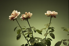 ...Sadness... (Renato Di Prinzio Fotografía) Tags: background beautiful beauty bloom blossom closeup color flora floral flower fresh garden green isolated leaf natural nature petal pink plant red rose spring summer white
