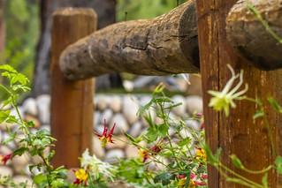 Split rail fence among columbines
