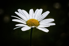 Daisy (anderswetterstam) Tags: flowers nature flora floral botanical white summer summertime fragility freshness dark closeup
