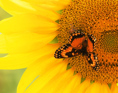 The butterfly and the sunflower (mara.arantes) Tags: flowers flower borboleta butterfly petals details nature natureza ecologia