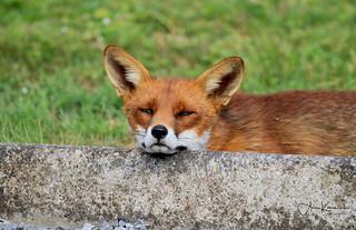 George the Irish Fox