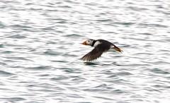 006 (dunraven48) Tags: birds northernireland sigma150500mm canon7d rspb wildlife