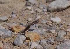 Mantidae (Phil Arachno) Tags: greece gialova peleponnes griechenland arthropoda