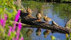 Les trois muppets (Alexandre LAVIGNE) Tags: hdpentaxdfa150450mm pentaxk1 arbres canards colverts couleur k1 lumière nature oiseau abbeville picardiehautsdefrance