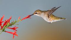 Black-chinned Hummingbird (Eric Gofreed) Tags: arizona blackchinnedhummingbird hummingbird mybackyard villageofoakcreek yavapaicounty multiflash