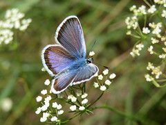 Common blue (Oleg Elkov) Tags: butterfly commonblue flower macro summer meadow polyommatusicarus green blue grass elegant airy field closeup ecology environment symbol blossom insect nature sitting wings beautiful concept wing wildlife lepidoptera plant beauty color