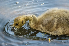 A walk round Lochend Park June 2018-40 (Philip Gillespie) Tags: edinburgh scotland canon 5dsr park nature birds chicks young baby swans ducks geese seagulls pigeons water wet splash wave outdoor outside trees grass reeds branches leaves bills feet fur feathers sun sunlight sky clouds colour green blue orange yellow wildlife lake pond pool eyes flying nesting babies landing flowers petals black white magpie mono monochrome