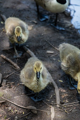 A walk round Lochend Park June 2018-36 (Philip Gillespie) Tags: edinburgh scotland canon 5dsr park nature birds chicks young baby swans ducks geese seagulls pigeons water wet splash wave outdoor outside trees grass reeds branches leaves bills feet fur feathers sun sunlight sky clouds colour green blue orange yellow wildlife lake pond pool eyes flying nesting babies landing flowers petals black white magpie mono monochrome