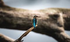prescious little jewel (giacomo_buttgereit) Tags: kingfisher eisvogel birdwatcher outdoors alcedo atthis wildlife